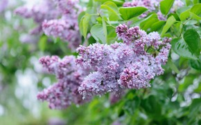 Picture leaves, branches, lilac, inflorescence, bokeh