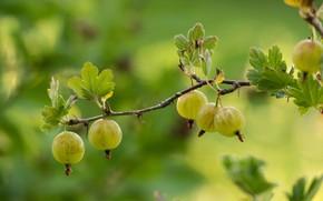 Picture macro, berries, branch, green, gooseberry