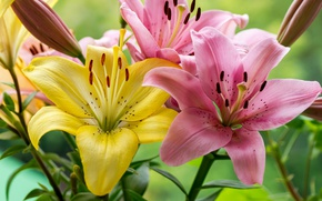 Picture macro, Lily, petals
