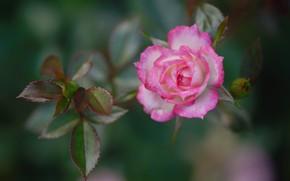 Picture leaves, rose, petals, Bud, bokeh