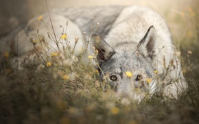 Picture grass, look, face, flowers, dog, The Czechoslovakian Wolfdog