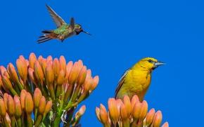 Picture flower, the sky, birds, Hummingbird, Oriole