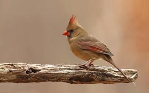 Picture birds, red cardinal, virgin cardinal