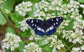 Picture macro, flowers, butterfly, Lentochnykh bluish