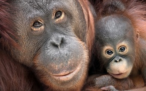 Picture background, monkey, Borneo Orang-Utans