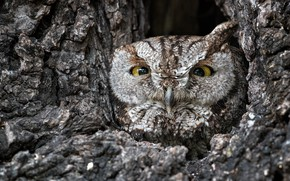 Picture owl, disguise, the hollow
