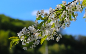 Picture cherry, color, branch, spring