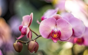 Picture pink, branch, Orchid