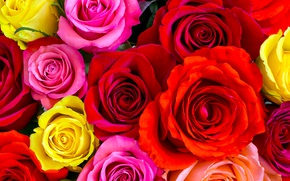 Wallpaper buds, pink, yellow, roses, closeup, red, colorful, a lot