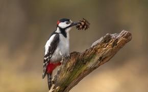 Wallpaper woodpecker, bump, birds