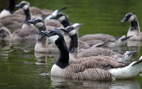 Picture nature, bird, pack, a lot, the wild geese