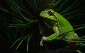Picture frog, branch, green, pine