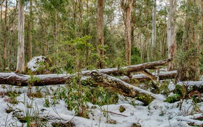 Picture winter, forest, snow, trees, HDR, Australia, Barrington Tops National Park