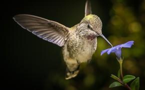 Picture flower, Hummingbird, flight, bird, bokeh, William Lee