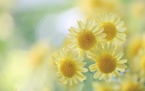 Picture macro, chrysanthemum, yellow, bokeh