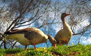Picture summer, grass, clouds, light, trees, flowers, birds, branches, nature, spring, pair, grey, Sunny, two, geese, …