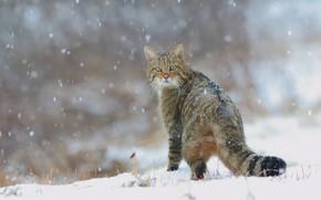Wallpaper cat, forest, cats, wildcat, tail, wild, nature, winter, snowfall, snow, European wild cat