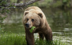 Picture grass, water, Alaska, leaf, bear, Brown bear, Kodiak