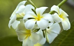 Picture macro, tropics, plumeria