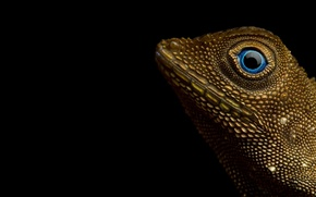 Picture reptile, Aphaniotis fusca, Earless agamid