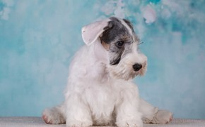 Picture white, dog, puppy, blue background