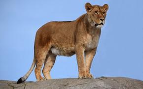 Picture cat, predator, lioness