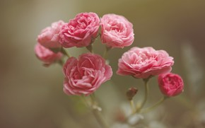 Picture roses, Pink, buds