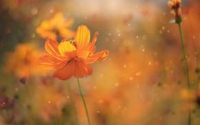 Picture Spring, Flower, Flower, Spring, Kosmeya, Kosmeya