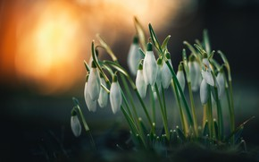 Picture flowers, nature, background, snowdrops