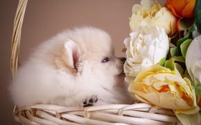 Picture flowers, basket, puppy, Spitz