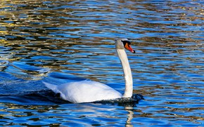 Picture water, nature, glare, blue, background, blue, bird, ruffle, Swan, pond, neck, swimming
