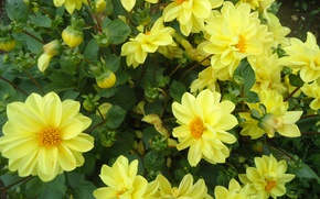 Picture flowers, yellow, beautiful, lush