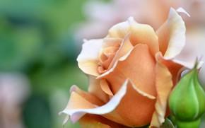Picture rose, petals, Bud