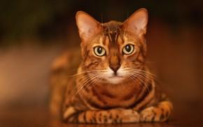 Picture cat, cat, look, background, portrait, muzzle