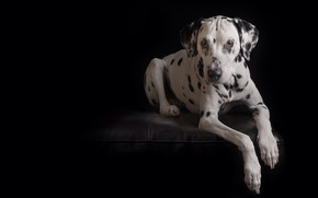 Wallpaper paws, black background, dog, Dalmatian, look, portrait