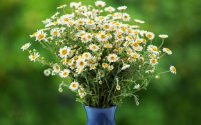 Picture chamomile, bouquet, vase, green background