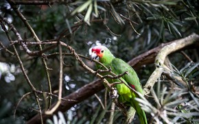 Picture bird, Tree, parrot, Ara