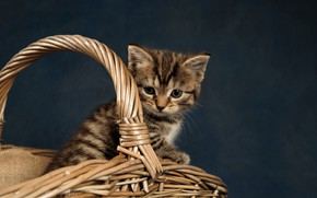 Picture background, basket, baby, kitty