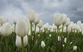 Picture Tulips, white, buds