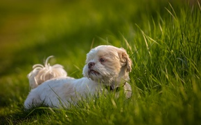 Picture grass, each, dog, Shih Tzu