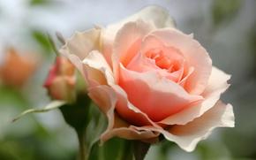 Wallpaper rose, Bud, petals, macro, bokeh