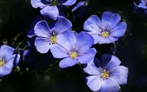 Picture Macro, Macro, len, Blue flowers, Blue flowers