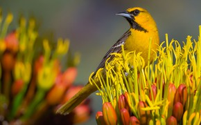 Picture flower, bird, beak, color trupial bullock