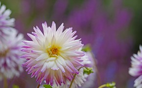 Picture flower, nature, flowering, Dahlia