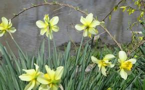 Picture daffodils, April, spring 2018, mamala ©