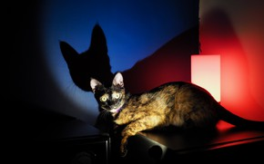 Picture cat, look, shadow