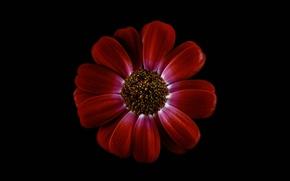 Picture flower, background, petals, chrysanthemum