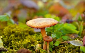 Wallpaper Mushrooms, Nature, Mushrooms