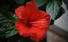 Picture Hibiscus, Hibiscus, Red flower, Red flower