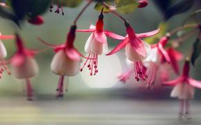 Picture macro, flowers, fuchsia, Lee Peiling